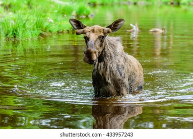 Moose (Alces alces). A bull is standing in the forest lake.