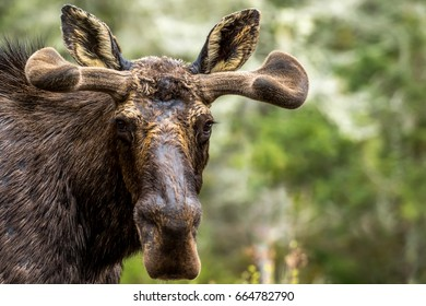 Moose - Alces alces, close-up portrait of a male bull in the spring. New antlers and coat are growing.