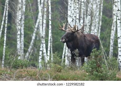 Moose - Alces alces (Elk)