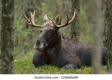 Moose- Alces alces (Elk)