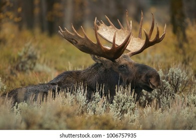 Moose (Alces alces) Grand Teton NP, Wyoming, USA