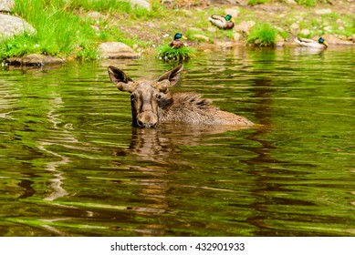 Moose (Alces alces), here a bull is bathing in a forest lake. Most of the body is submerged under water.
