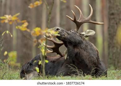 Moose ( Alces alces) mammal, elk