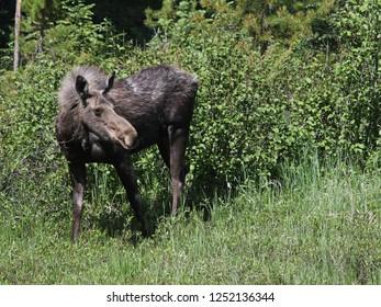A moose (Alces alces shirasi) feeding on grass, shot in Rocky Mountain National Park, Colorado.