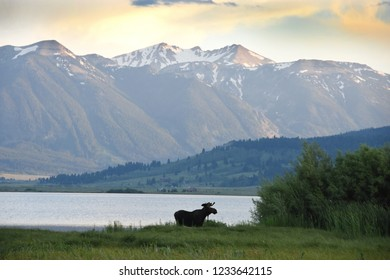 Moose along the shore of Henry's Lake, a lake that lies at the base of Sawtelle Mountain in Idaho near Yellowstone National Park.