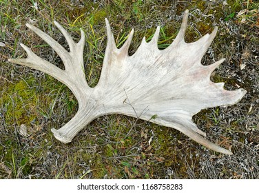Moose antler on the floor, Denali National Park, Alaska, USA