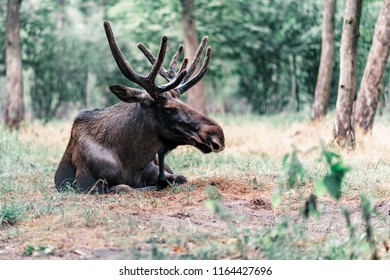 Moose with antler in velvet lying down in grass.