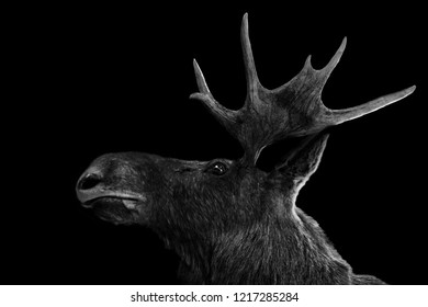 Moose antlers 3d isolated black white background animal
