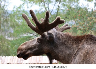 moose with big horns