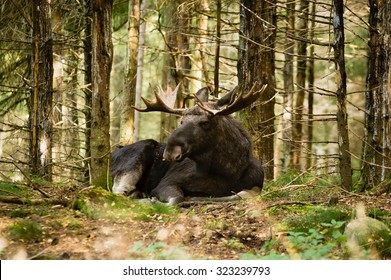 Moose bull (Alces alces) with fine antlers resting in dense spruce forest. Moose is awake but relaxed and looking at something in the distance.