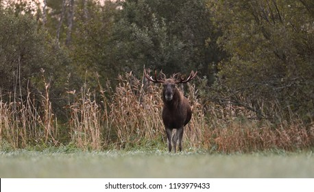 Moose bull in an autumn meadow, Eurasian elk in an autumn meadow. Rut season.