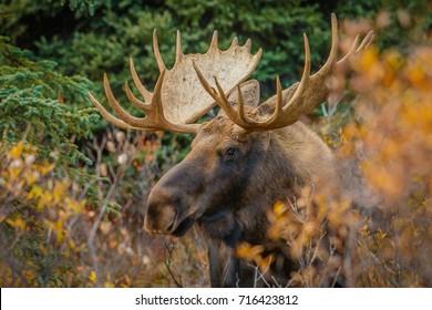 A moose bull in Denali NP, Alaska