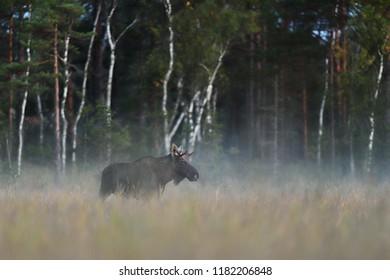 Moose bull, Eurasian elk
