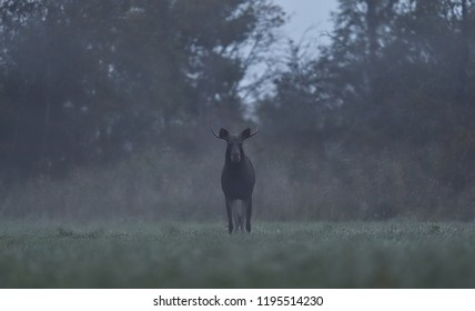 Moose bull in the misty meadow with forest background, rutting season