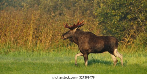 Moose bull with palmate antlers on a field