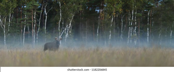 Moose bull panorama in the misty bog.