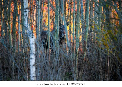 moose bull at sunset in forest. moose with orange red sky. moose contour.