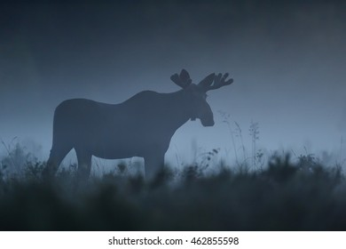 moose bull walking in the mist at summer night