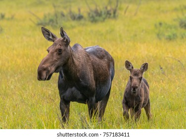 Moose Calf Alert Next to Mother in Grassy Field