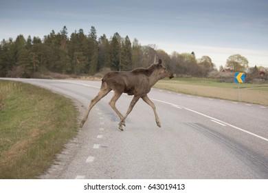 Moose calf crossing a road