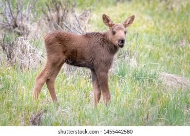 Moose calf out in a green field. Rocky Mountain National Park, Colorado, USA.