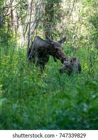 Moose and Calf in Rocky Mountain National Park, Colorado