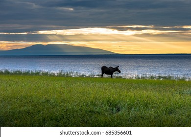 Moose in Cook Inlet near Anchorage, Alaska