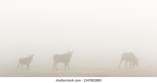 Moose cow with calf and a bull moose in the morning fog