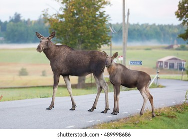 Moose cow with calf crossing a road