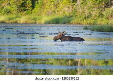 Moose cow eating water lily in a pond inside Algonquin Provincial park in Ontario.
