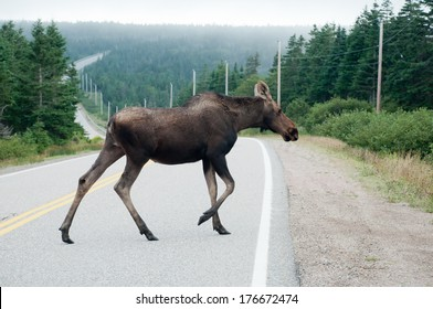A moose crosses the road on the Cabot Trail in the Cape Breton Highlands National Park, Nova Scotia.