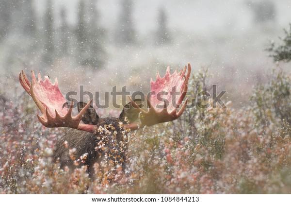 Moose Denali National Park Agnieszka Bacal.
