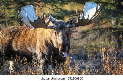 Moose in the denali national park Alaska stretches out tongue