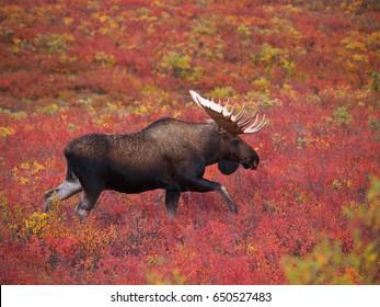 Moose in Denali National Park, Alaska