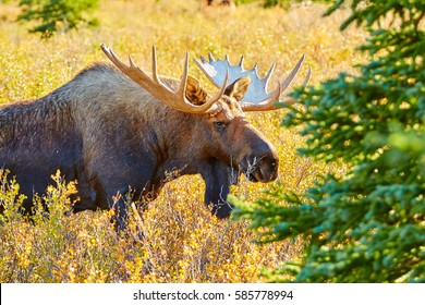 Moose, Denali National Park and Preserve, Alaska, USA