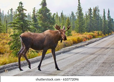 Moose, Denali National Park and Preserve, Alaska, USA