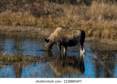 Moose drinking in Pond