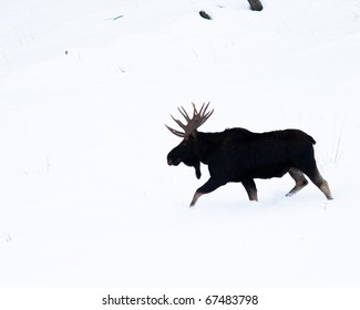 Moose during winter in Yellowstone