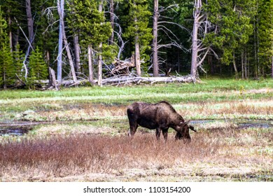 Moose eating at the meadows in Yellowstone National Park
