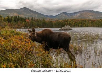 Moose eating near Mount Katahdin
