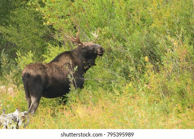 Moose eating willows in a forest