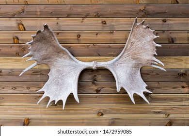 Moose / elk (Alces alces) antlers hanging on wall of wooden cabin