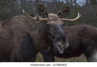 Moose - Elk Europe
