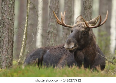 Moose (Elk) mammal alces alces