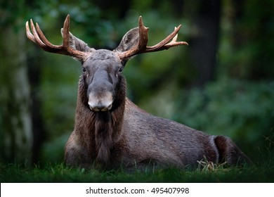 Moose or Eurasian elk, Alces alces in the dark forest during rainy day. Beautiful animal in the nature habitat. Wildlife scene from Sweden.