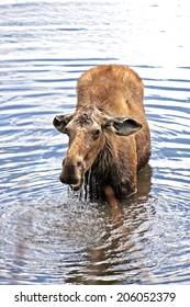 Moose feeding in a lake