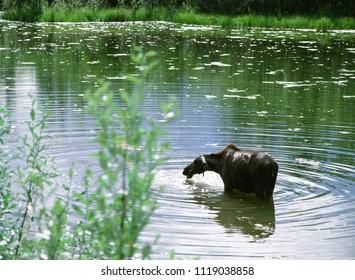 Moose, female moose eating water grass in the lake at Alaska