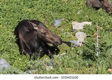 Moose in Grand Teton National Park, Wyoming.