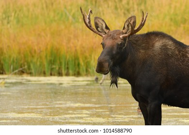 Moose in Grand Teton National Park wading and eating in a field and a wading in a beaver pond in the Forrest
