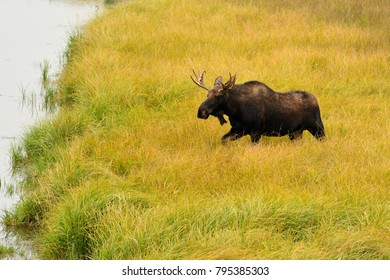 Moose in Grand Teton National park walking through grass to a pond
